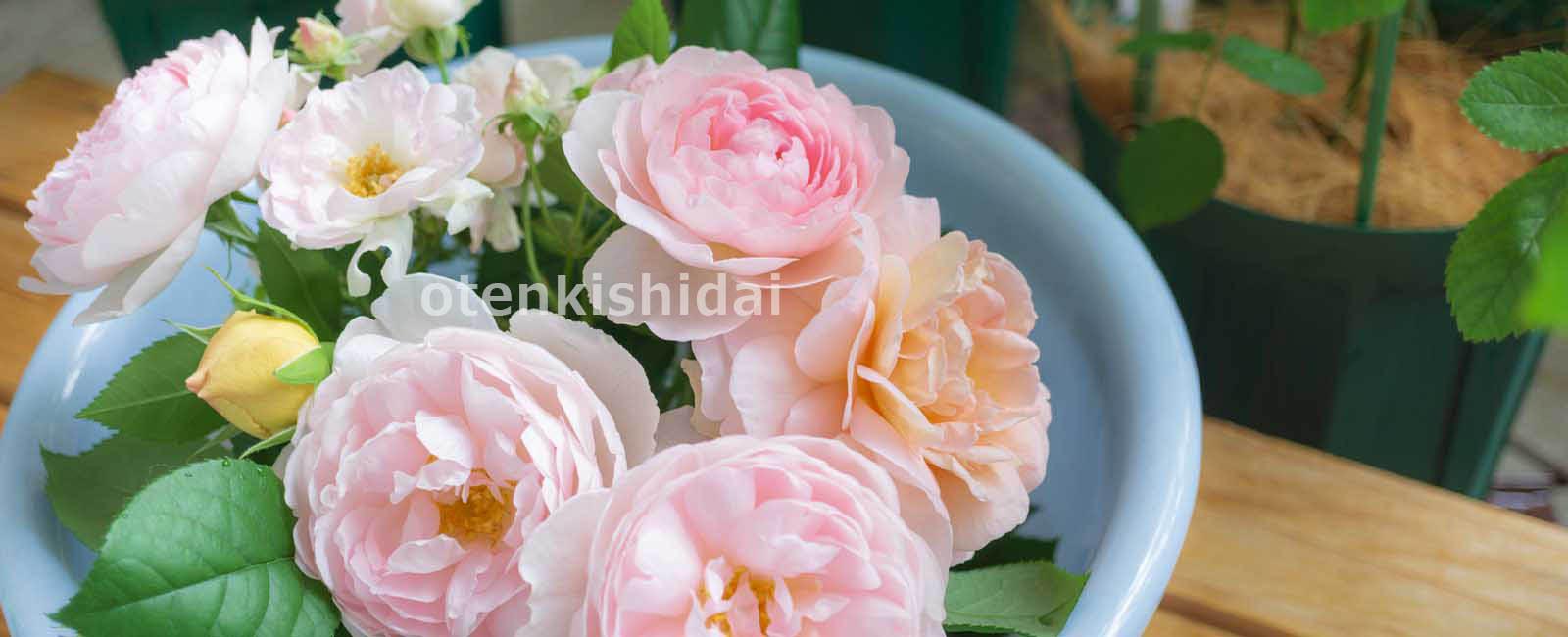 ベランダで咲いたバラを摘む