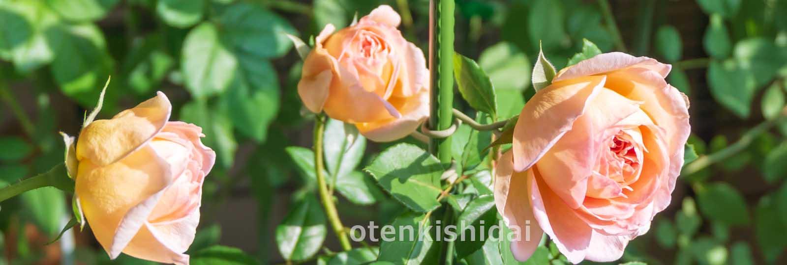 ベランダの秋バラ