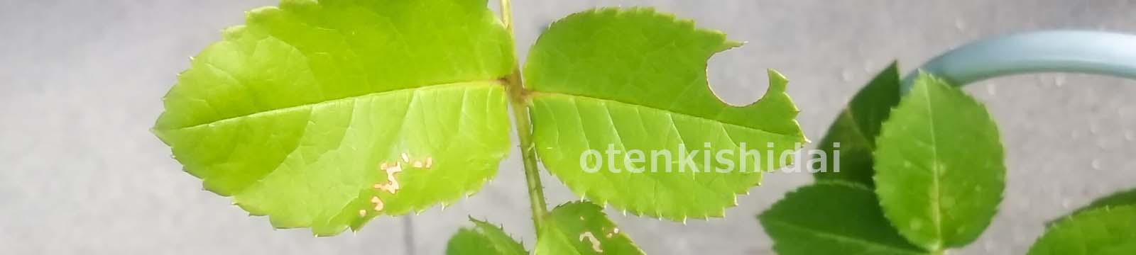 虫に食われた葉