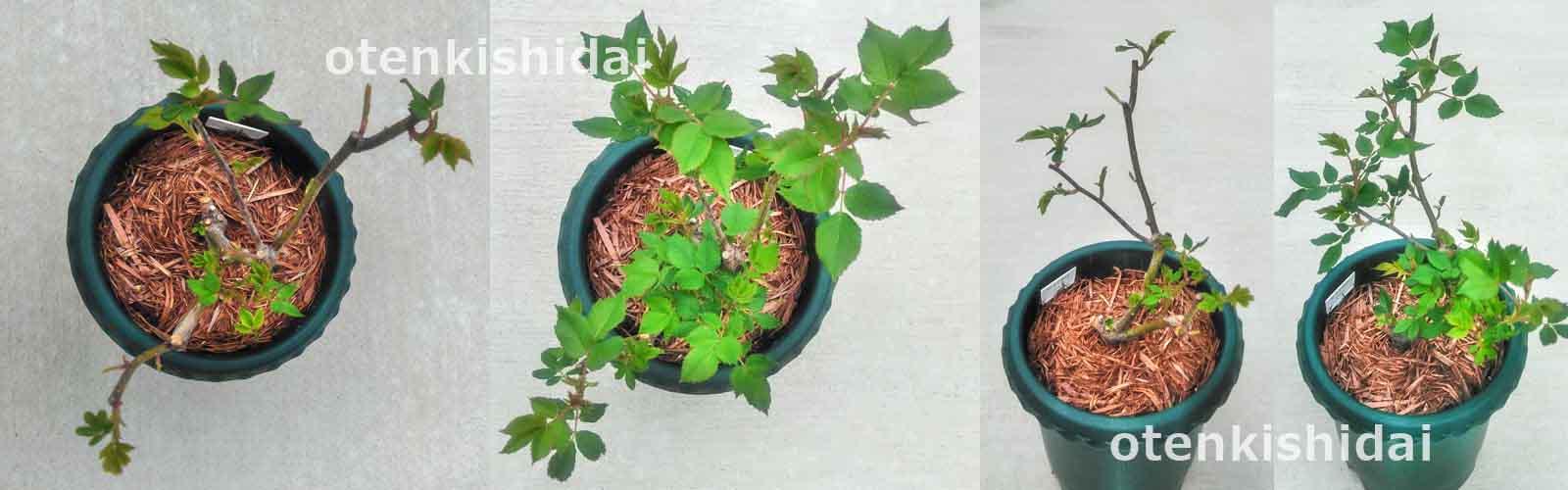 ラレーヌビクトリアの芽吹き