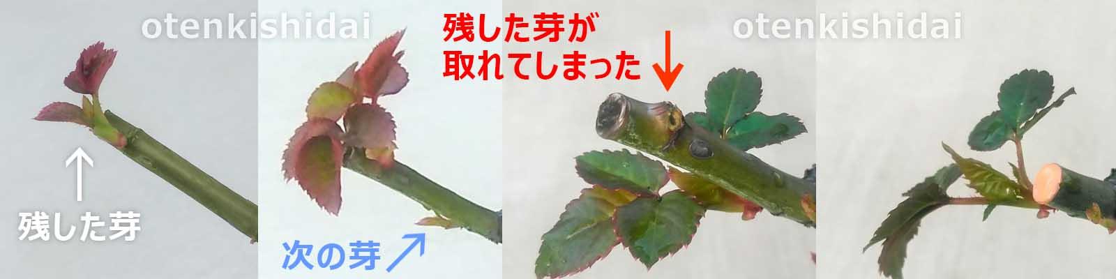 バラの芽かきの失敗