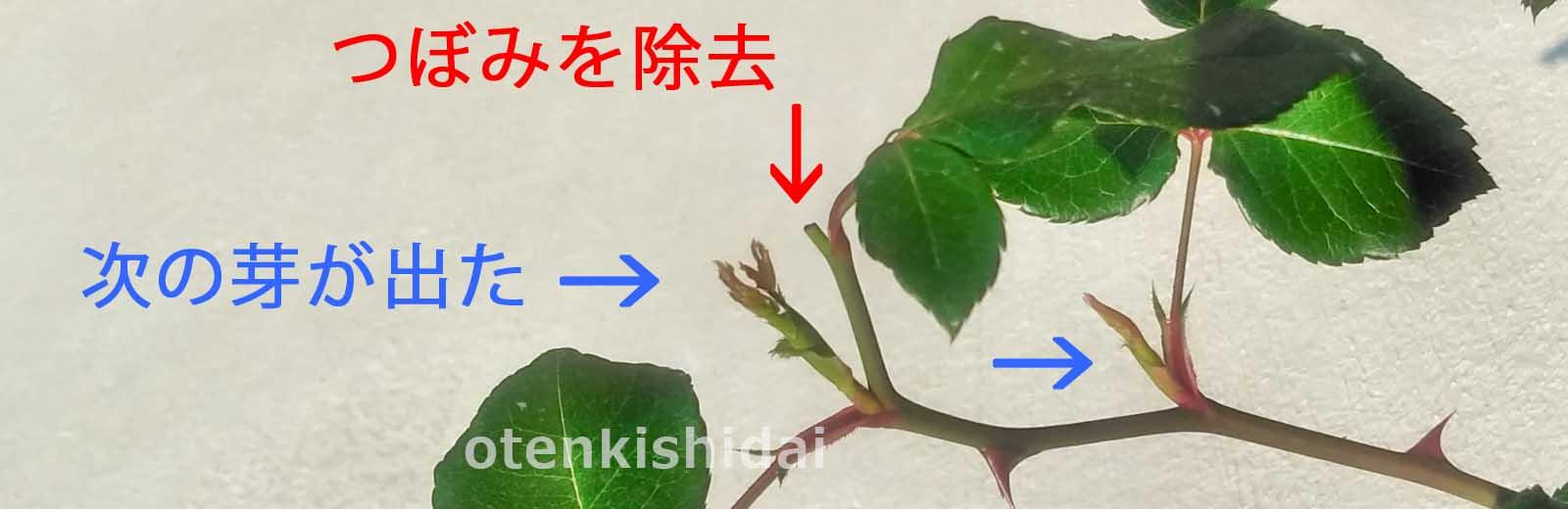 バラの摘蕾後の芽