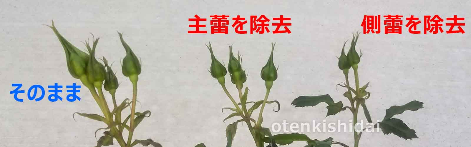 バラの摘蕾