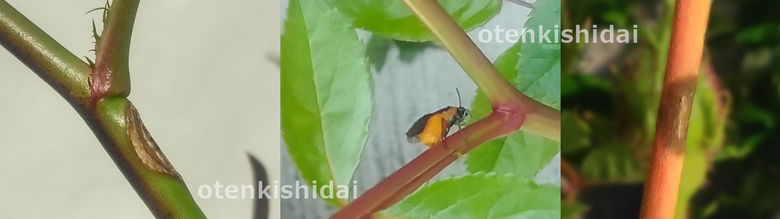 ハバチの産卵痕と孵化痕