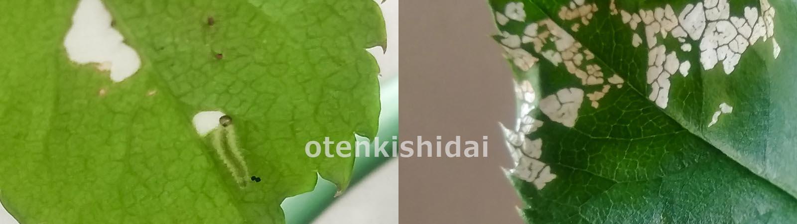 クシヒゲハバチの幼虫