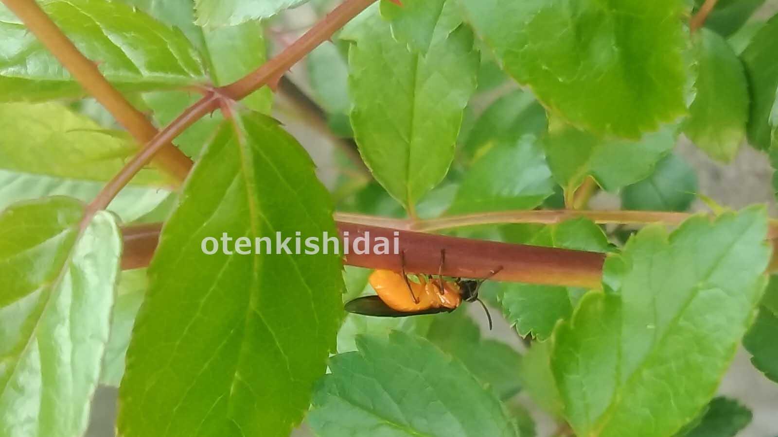 産卵中のチュウレンジハバチ