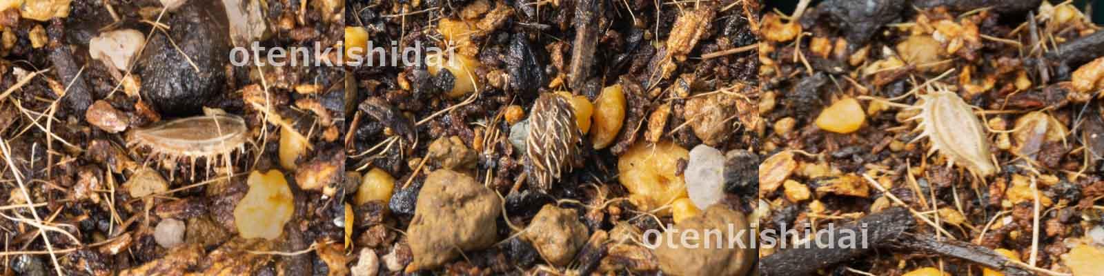直蒔きしたオルラヤの種
