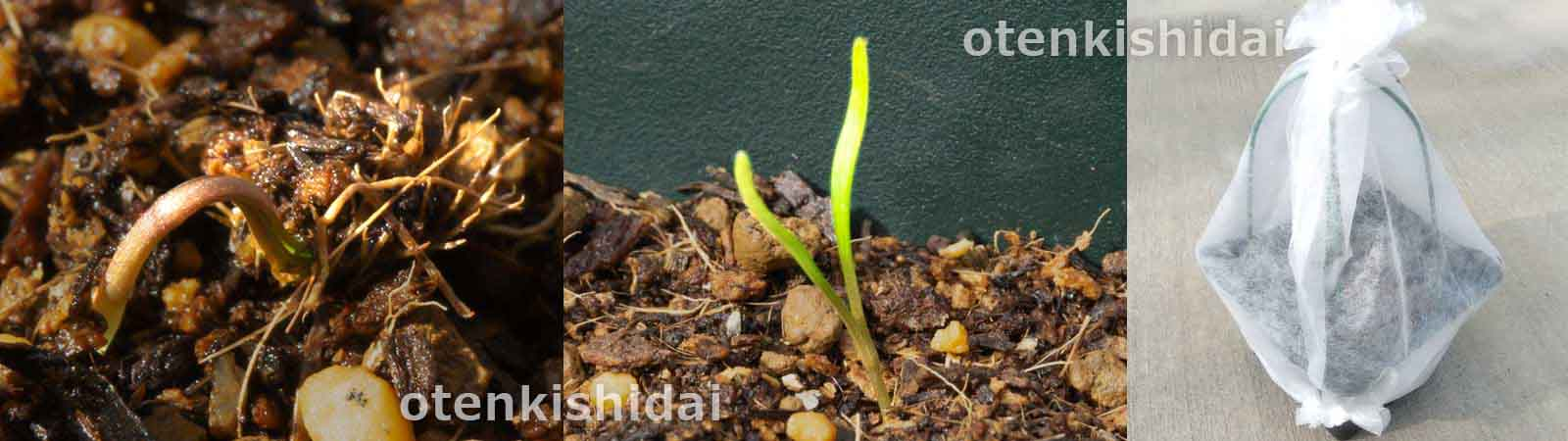 発芽したオルラヤの種