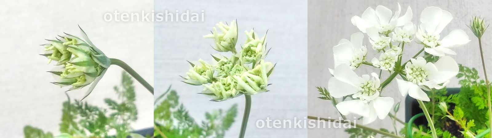 オルラヤの開花
