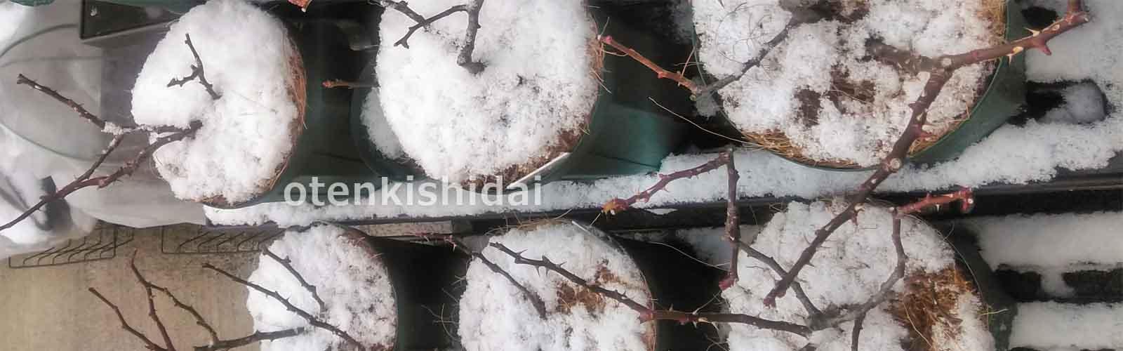 バラ鉢に初雪