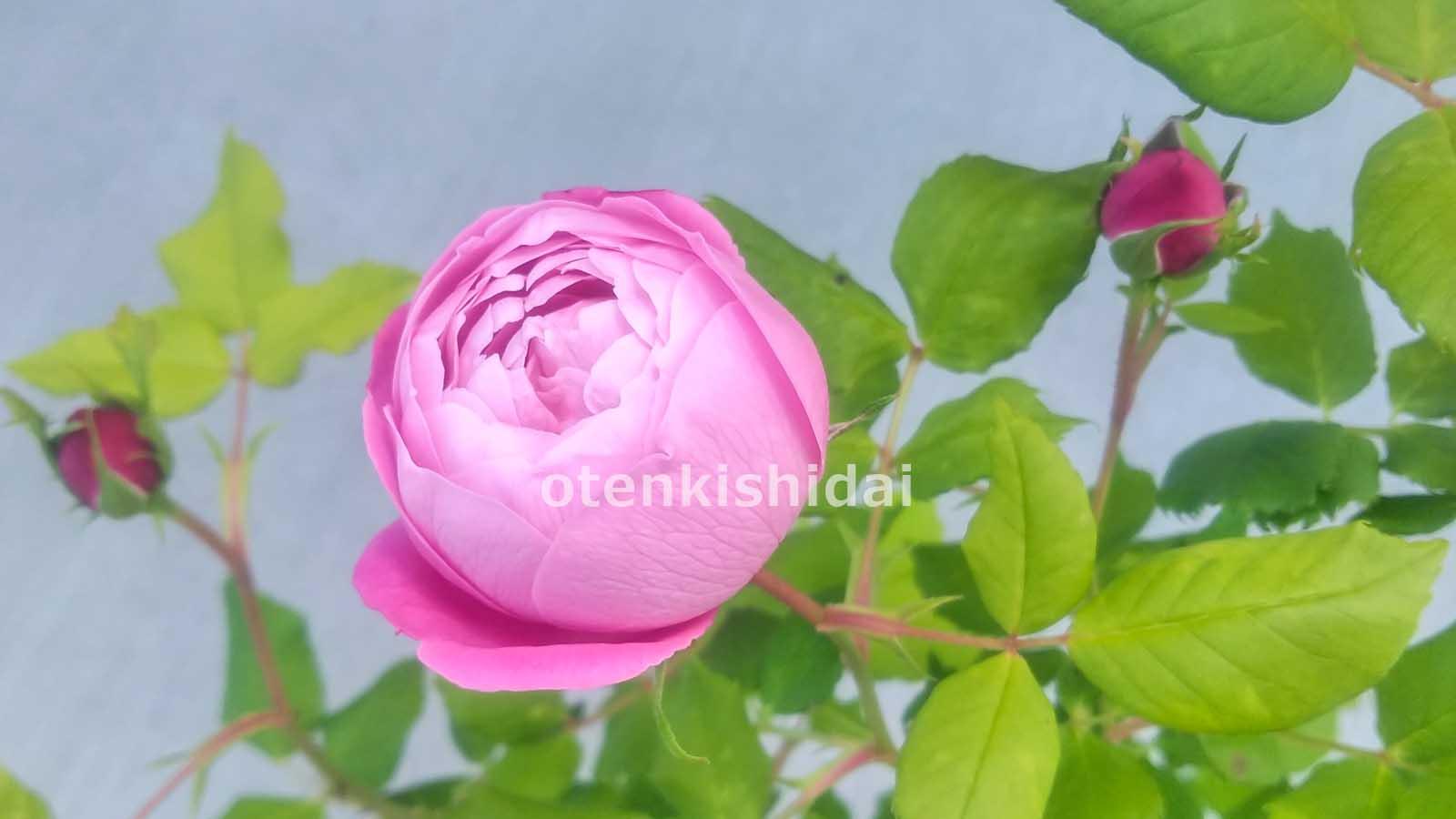 今年のバラの1番花のイメージ